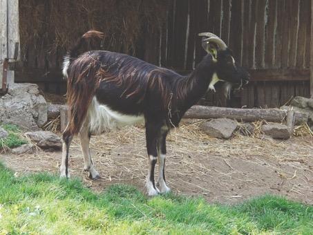 Puy-Leonard Poitevine Goat