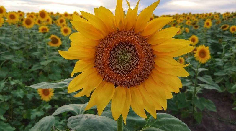 Puy-Leonard Summer SunflowerField