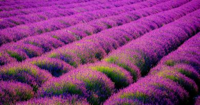 Puy-Leonard Lavender Field