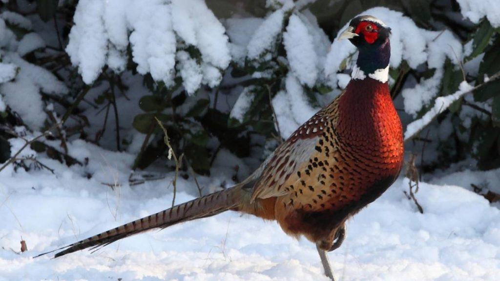 Puy-Leonard Pheasant