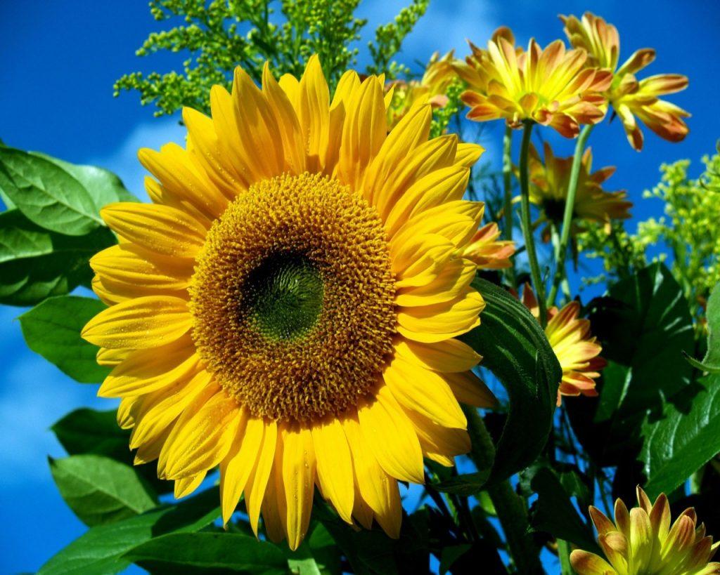 Puy-Leonard Sunflowers August