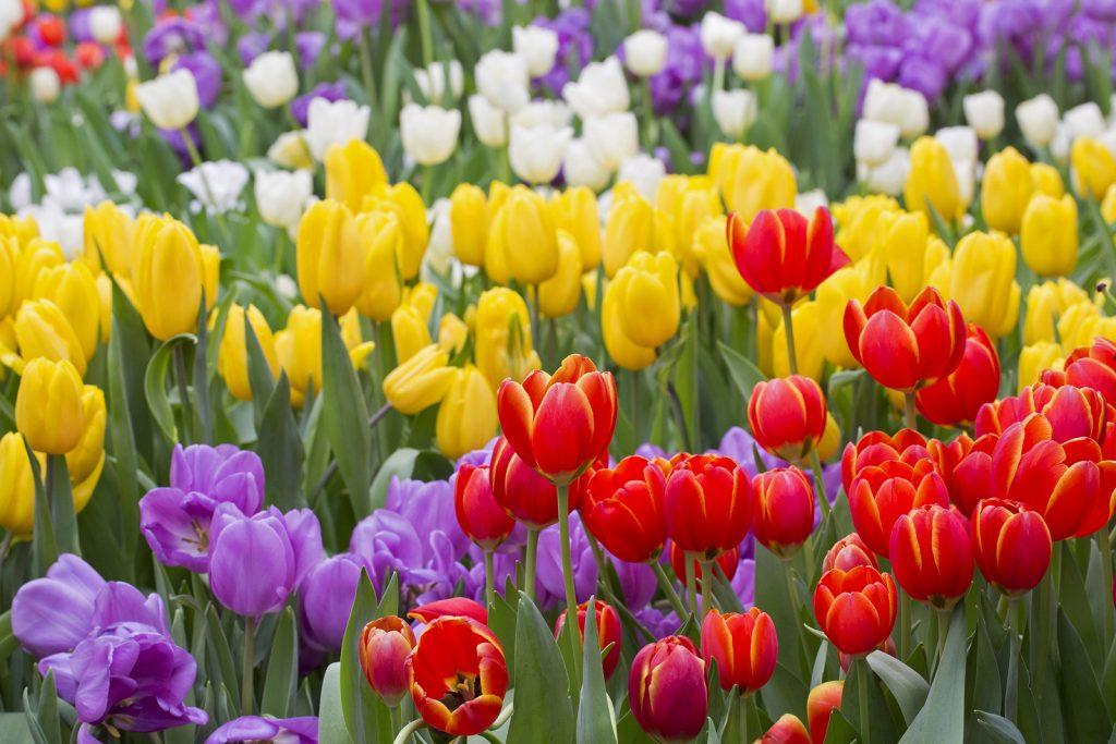 Puy-Leonard Tulips May